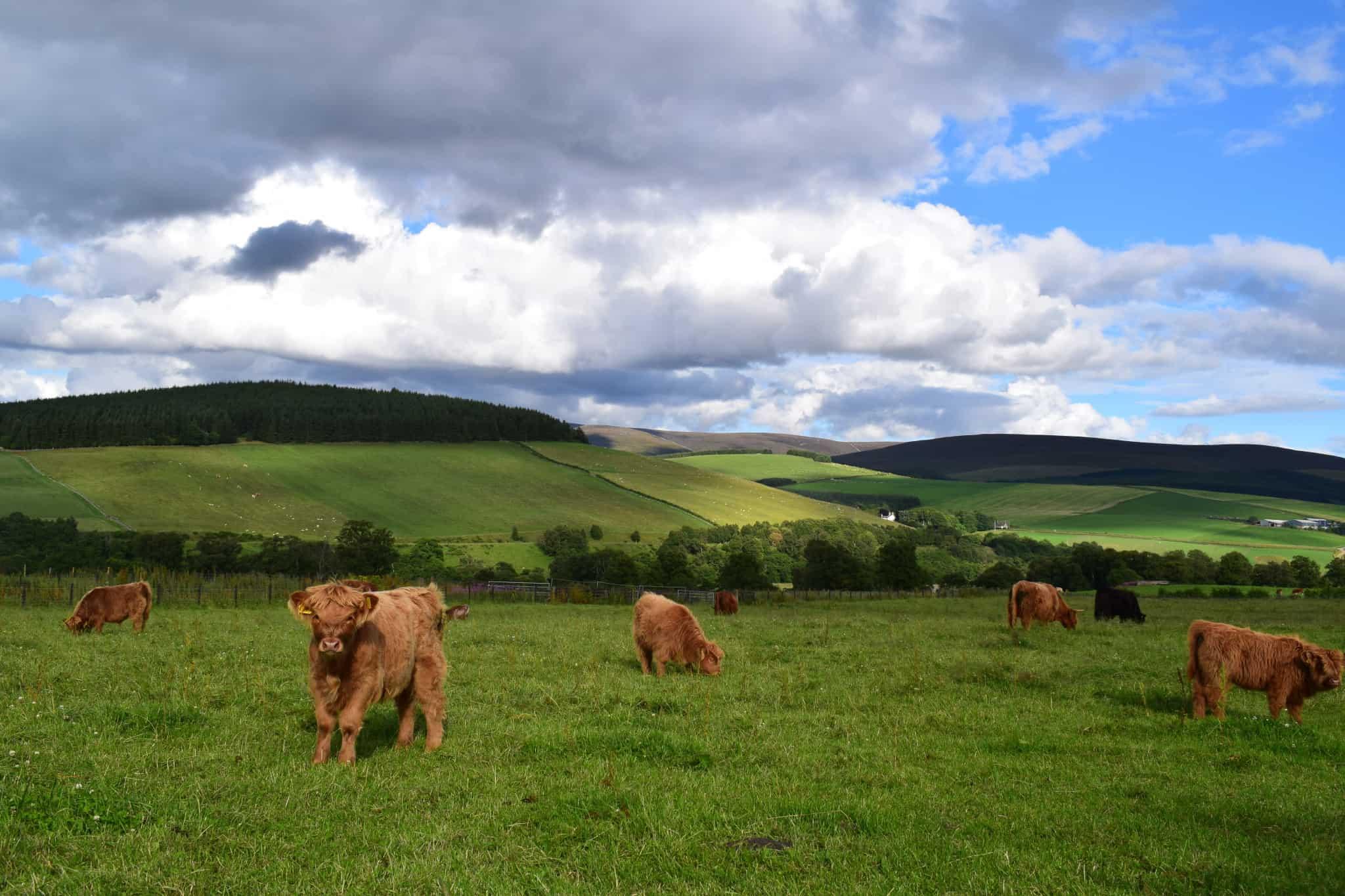 Highland Cows Scotland